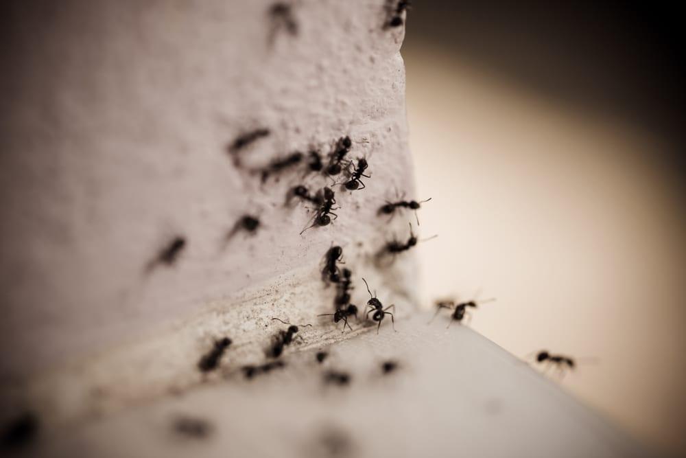 Black Ants Get Rid