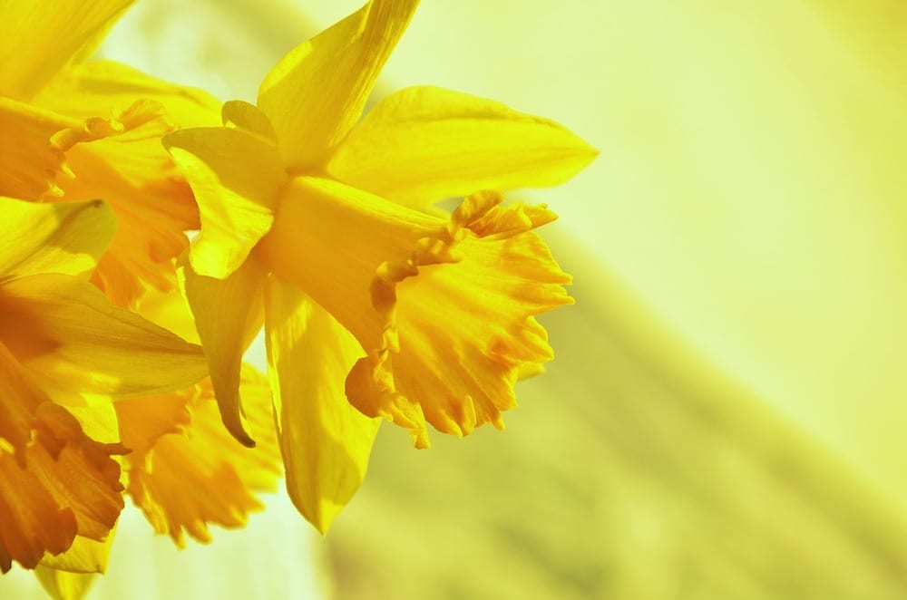 Are Daffodils Poisonous to Squirrels