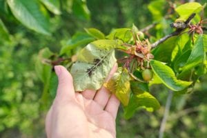 Can Aphids Kill a Tree