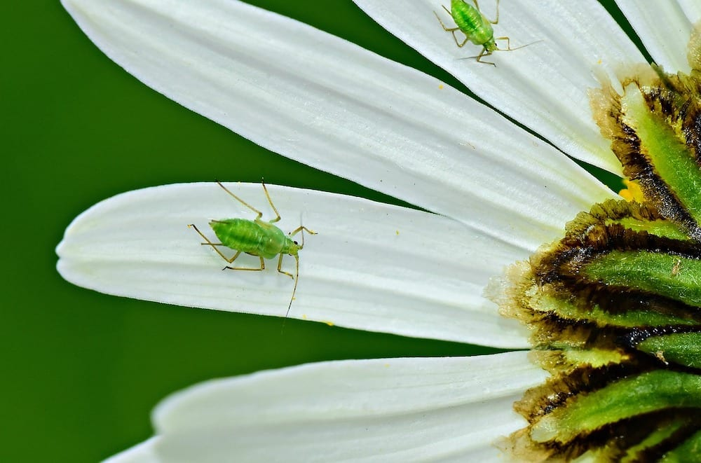 Can Aphids Fly