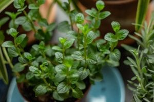 How to Get Rid of Aphids on Herbs