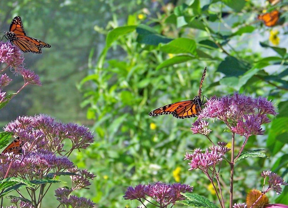 How to Get Rid of Aphids on Milkweed