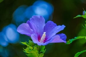 How to Get Rid of Aphids on Hibiscus