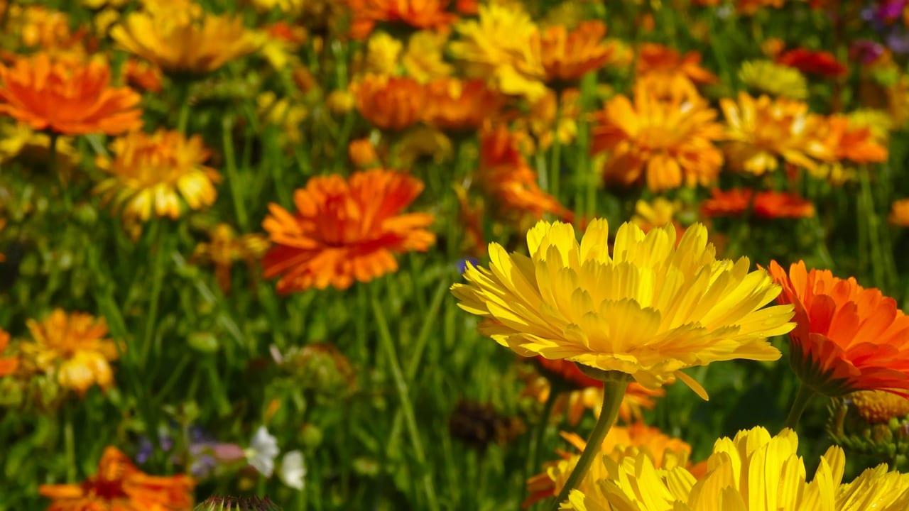 Plants That Deter Aphids