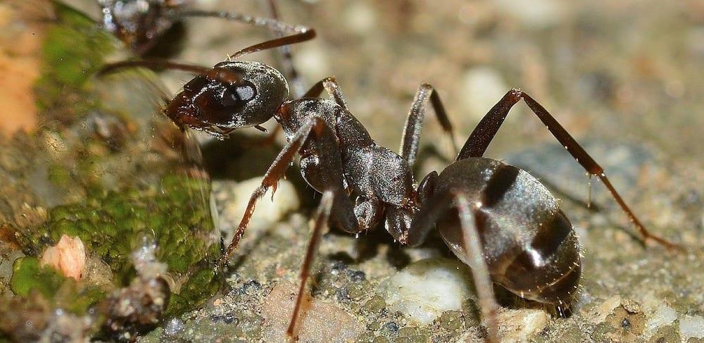 Will Ants Eat Dead Ants