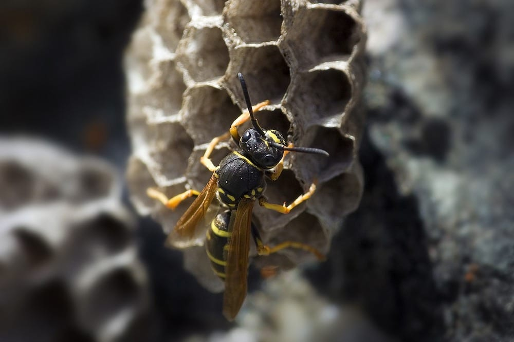 Will Wasps Return to a Destroyed Nest