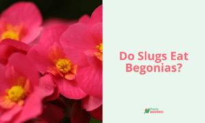 Do Slugs Eat Begonias