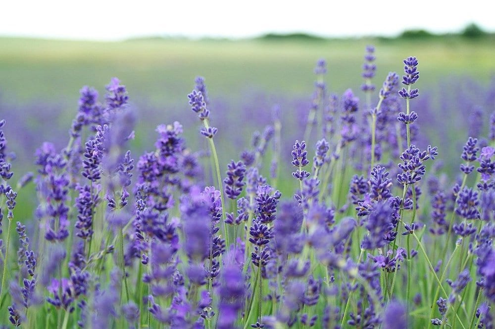 Does Lavender Repel Cats