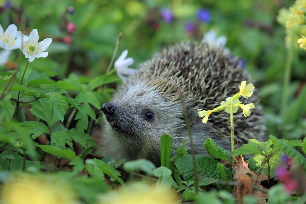 Hedgehogs Eat Slugs