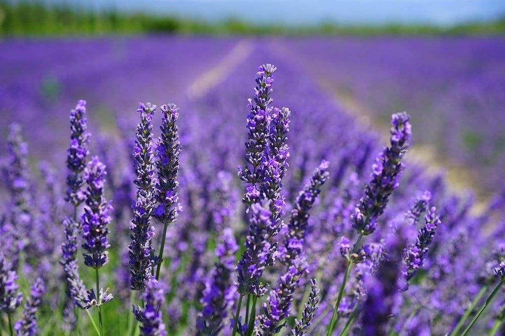 Lavender Deters Slugs