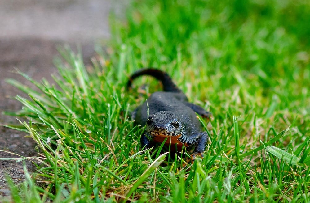 Newts Eat Slugs