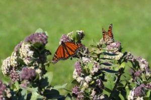 Do Aphids Eat Monarch Eggs