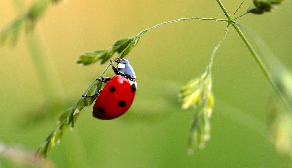 Do Ladybirds Eat Monarch Eggs