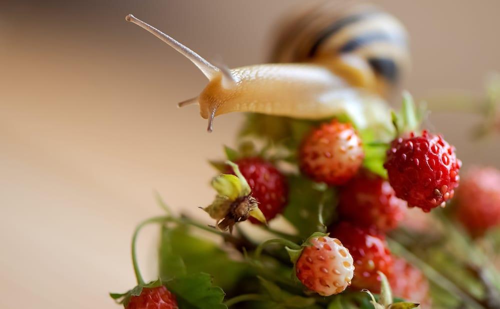 Snails Eat Berries