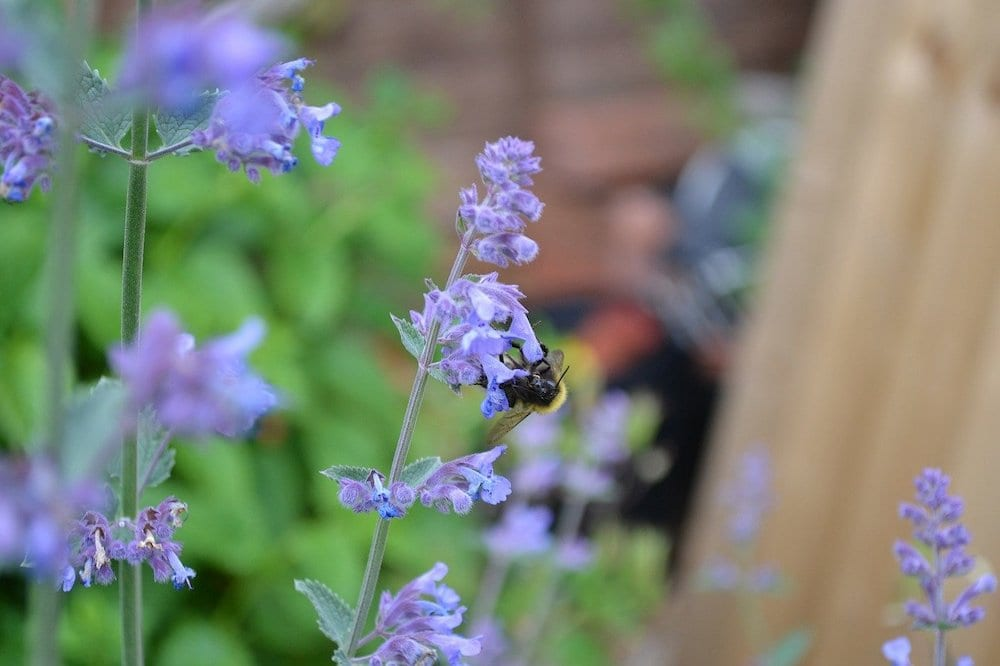 Snails Hate Catmint