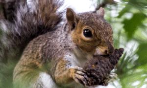 Can Squirrels Chew Through Wood