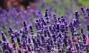 Do Cats Like Lavender