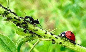 Do Ants Kill Ladybugs