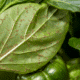 How Do Aphids Reproduce